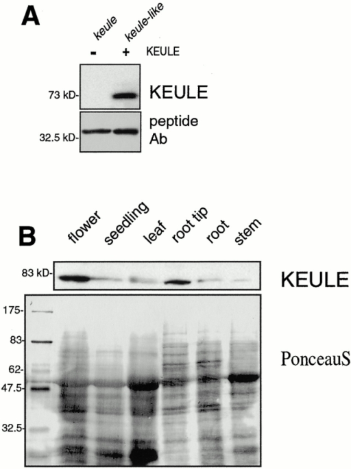 "KEULE antibody and expression of the KEULE protein visualized by Western analysis. (A) The peptide antibody specifically recognizes a 73-kD band in keule-like mutants (described in Materials and Methods) but no band of the size of KEULE in keule mutants. Bottom panel shows the dominant contaminating band revealed by this peptide antibody. Both lanes are loaded with 50 mutant seedlings (left, fast-neutron–induced keule allele; right, cytokinesis-defective line G235) homogenized in 10 μl of sample buffer. (B) KEULE is expressed throughout the plant (as seen after longer exposures of the blot; expression in root shown in Fig. 7 B and in seedling in Fig. 8 C) and appears enriched in dividing tissues of Arabidopsis, namely the root tips and inflorescence meristems, designated ""flower"" in the figure. The membrane was stained with Ponceau S to monitor loading."
