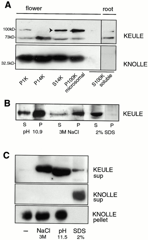 KEULE is peripherally associated with membranes. (A) KEULE appears to be membrane associated: KEULE is present in both the heavy membrane (P14K) and microsomal (P100) fractions. Longer exposure of the blot shows that KEULE is found in the soluble fraction as well. KEULE is shown to be in the soluble fraction of roots (right). As a control, the syntaxin KNOLLE is shown to be present in the membrane but not the soluble (S100K) fractions (bottom). P, pellet; S, supernatant. Note: not equiloaded, the membrane fractions are fivefold more concentrated than the soluble fractions. The arrow points to the KEULE-specific band which migrates anomalously at 100 kD in this sample (run with <100 mM DTT). It is not clear why this band is absent in the P14K fraction. (B and C) Membrane association is peripheral. KEULE can be released from the microsomes (P100K) if these are incubated with high salt (3 M NaCl), if the pH is increased (0.1 M NaCO3, pH 10.9–11.5), or with 2% SDS. (B) Solubilzation is complete with 2% SDS but only partial with high salt and high pH. (C) KEULE and KNOLLE differ with respect to the nature of their membrane association. In contrast to KEULE, KNOLLE was released from the microsomal fraction by SDS but not by high salt or high pH. (Although it appears that less KEULE protein is released from membranes by SDS than by high salt or high pH, this is most likely an artefact due to incomplete deoxycholate/TCA precipitation in the presence of SDS; see Materials and Methods for sample preparation. As in B, the majority of the KEULE protein remains in the pellets; not shown as grossly overexposed.) sup, supernatant.