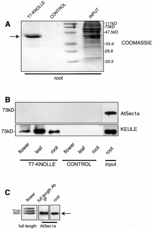 KEULE and KNOLLE interact. T7-KNOLLE was bacterially overexpressed and bound to α-T7 agarose beads. In the control lanes, bacterially expressed GST-KNOLLE was used in lieu of T7-KNOLLE. The loaded beads were incubated with protein extracts from flowers, leaves, and root lengths. 10% of the bead-bound proteins (T7-KNOLLE, CONTROL) or 1% of the plant extracts (INPUT) are loaded. (A) Coomassie-stained gel of beads incubated with root extract, or of root extract. Arrow points to T7-KNOLLE. GST-KNOLLE fails to bind the α-T7 agarose beads. (B) Westerns were probed with a peptide antibody against the highly conserved KEULE homologue AtSec1a (top) and with the KEULE peptide antibody (bottom). Longer exposures of the upper panel reveal the AtSec1a band in all six lanes, with no differential behavior between the experiment and negative control. The input lanes are loaded with the root extracts used for this experiment. (C) Specificity of the AtSec1a antibody. The AtSec1a peptide antibody recognizes a band at the expected size, 66 kD (arrow), in plant extracts (root). To confirm that this indeed corresponds to AtSec1a, we show that the antibody cross-reacts with a 66-kD protein immunoprecipitated (IP) by an antibody raised against the full length KEULE protein (middle). As expected based on sequence analysis (see Fig. 3), the full length antibody reveals three bands in plant extracts; the lower one presumambly corresponds to AtSec1a (left).