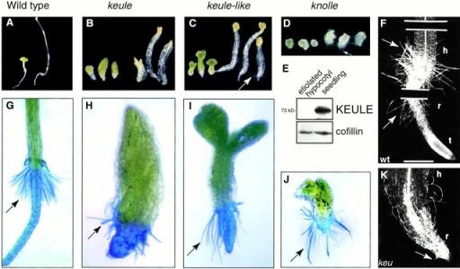 Cell elongation and root hair growth in keule mutants. (A–D) Mutant seedlings were germinated in the light (left) or dark (right). keule (B), keule-like (C), and knolle (D) mutants are capable of elongation, but not to the same extent as wild-type (A). (E) KEULE is only weakly expressed in etiolated hypocotyls. Anticofillin antibody was used as a load control. (F–K) Root hairs are absent (K) or stunted and radially swollen (H) in keule mutants, but of normal length in other cytokinesis-defective mutants. Root hairs are stained with methylene blue. Each keule allele exhibits a range of phenotypes, though the range may differ in a given allele. In contrast to keule mutants, keule-like (I) and knolle (J) mutants grow long root hairs. (F and K) Clearing preparation of wild-type (F) and keule (K) seedling. Note that the basal portion of keule seedlings have root-like characteristics. Arrows point to root hairs. h, hypocotyl; r, root; t, root tip. KEULE alleles: MM125 in B and H; G67 in K. Bars: (F) 270 μm; (K) 200 μm.