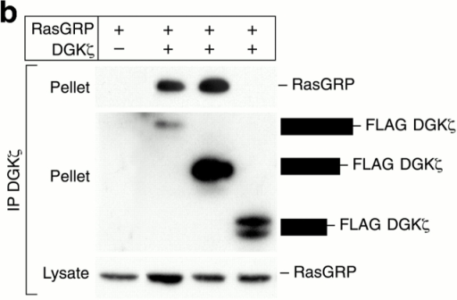 RasGRP coimmunoprecipitates with DGKζ. (a) DGKζ with or without a FLAG epitope tag was cotransfected into HEK293 cells along with HA-RasGRP. 48 h later, anti-FLAG antibodies were used to immunoprecipitate DGKζ. Normal mouse IgG was used as a control. After SDS-PAGE of the pellets or 10% of the lysates, RasGRP was detected by immunoblotting with anti-HA. The blot was then stripped and reprobed for DGKζ. (b) HA-RasGRP was transfected along with a control vector or progressive COOH-terminal truncations of DGKζ containing FLAG epitope tags. The DGK proteins were immunoprecipated with anti-FLAG and then coimmunoprecipitation of HA-RasGRP was detected by immunoblotting with polyclonal anti-HA. The blot was stripped and then the DGKs were detected using anti-DGKζ. The three DGK constructs shown encode amino acids 1–748, 1–605, or 1–467 with FLAG epitope tags at their COOH termini. (c) A172 cells, either control or treated with PMA (90 ng/ml, 30 min), were lysed and then RasGRP was immunoprecipitated using an affinity purified antibody. To verify the specificity of the immunoprecipitation, the antibody was preincubated with its affinity peptide or a control peptide before the immunoprecipitation. The precipitates were then used either for Western blotting to detect RasGRP (top) or for DGK activity assays (bottom). (d) RasGRP was immunoprecipitated from control or PMA-treated A172 cells as described in the legend to c and then the precipitates were used for Western blotting to detect coimmunoprecipitation of DGKζ.