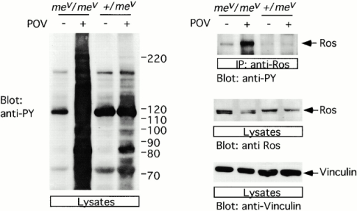 SHP-1 affects Ros signaling in vivo. mev/mev mice or heterozygous control animals were challenged with peroxovanadate (POV) or mock treated (−). The epididymis was prepared and the tissue was lysed. Lysates were used to analyze the phosphotyrosine content (left gel, anti-PY) by immunoblotting. In addition, lysates were used for immunoprecipitation (IP) of Ros and for the subsequent analysis of Ros phosphorylation, by immunoblotting (right gel). The data are representative of three independent experiments with consistent results.