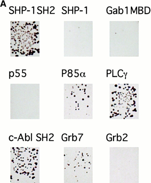 "The SHP-1 SH2 domains are strong binding partners for Ros in yeast two-hybrid assays. (A) The interaction of various signaling molecules as ""prey"" (indicated) with the autophosphorylated cytoplasmic domain of Ros as ""bait"" was tested in yeast colony growth assays. (B) The interaction of the SH2 domains of either SHP-1 or the related PTP SHP-2 with Ros or, for comparison, with the PDGFβ receptor was quantitatively measured with a β-galactosidase reporter gene assay. Colonies were spotted on X-gal–containing plates and color development, as depicted in the top picture, were quantitated by densitometry (graph, mean ± SD, n = 6)."
