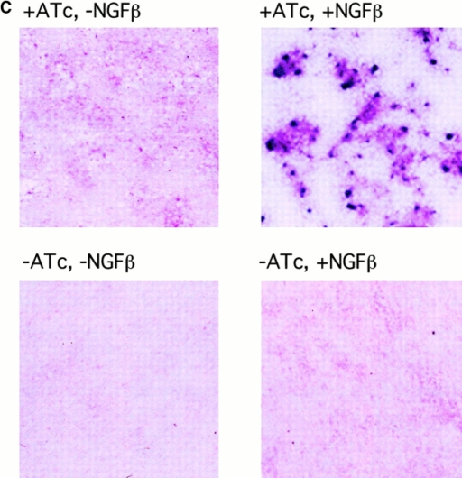 SHP-1 inhibits Ros-dependent cell growth and transformation. (A) NIH3T3 fibroblasts, stably transfected with TrkA-Ros, were supertransfected with SHP-1 using a tetracycline-inducible expression system (Tet-off system). Cells cultured in the absence or presence of ATc were stimulated with different concentrations of NGFβ. TrkA-Ros was immunoprecipitated and the tyrosine phosphorylation was monitored by immunoblotting. (B) The growth of the cells in the absence or presence of ATc and in the absence or presence of NGFβ was analyzed. The results are represented as fold growth after 8 d and compared to the seeded number of cells (mean of triplicates). (C) To analyze focus formation, cell monolayers were grown in the absence or presence of ATc and in the absence or presence of NGFβ for 12 d. Then, the monolayers were stained with crystal violet dye. In an alternative type of assay, we tested focus formation in the presence of an excess of parental NIH3T3 cells. When 20 transfected cells were mixed with 106 parental cells, the following numbers of foci per dish were observed in a typical experiment: +ATc, +NGFβ: 9; +ATc, −NGFβ: 2; −ATc, −NGFβ: 0; and −ATc, + NGFβ: 0.