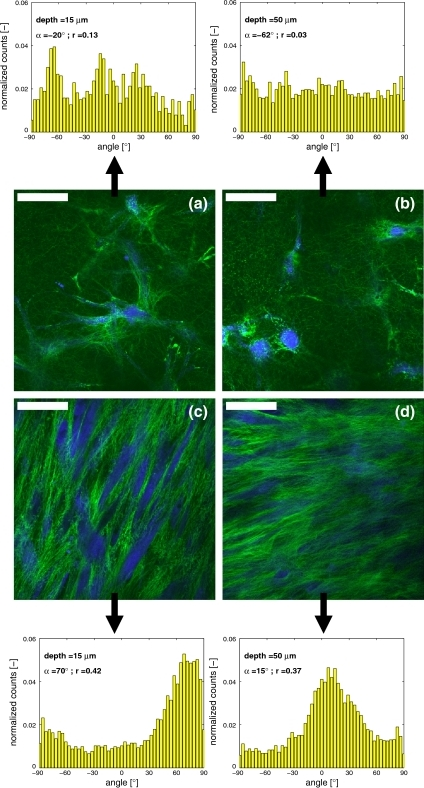 Representative multiphoton images of cells (blue) and collagen (green) organization in constrained (a, b) and intermittently strained (c, d) samples after 2 weeks at 15 (a, c) and 50 μm (b, d) imaging depths with the corresponding histograms of collagen orientations at 15 and 50 μm depth. Straining direction was from left to right. Scale bars represent 50 μm