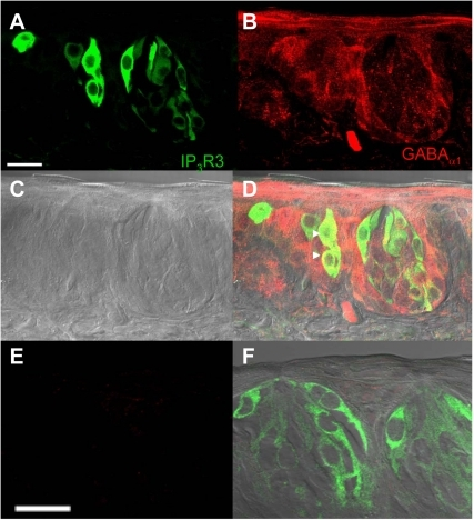 Localization of GABAAα1 receptors in the IP3R3-GFP expressing circumvallate taste buds.A Z-stack of 4 laser scanning confocal micrographs (LSCM, 0.5 µm each, collected 1 µm apart) of circumvallate taste buds from an IP3R3-GFP mouse labeled with an antibody directed against the GABAAalpha1 subunit is shown. Panel A shows the GFP fluorescence with the corresponding anti-GABAAα1 immunoreactivity of the same section shown in panel B (red labeling). A DIC bright field image of the taste buds is shown in C. An overlay of the images from A, B, and C is shown in D and demonstrates that some IP3R3-GFP expressing taste cells were immunoreactive for GABAAα1 (see arrowheads for example cells). The lack of labeling when the section is incubated with primary antibody that has been pre-incubated with blocking peptide is shown in E. All staining is eliminated when the blocking peptide is present. F shows an overlay of the panel from E with the corresponding DIC image and GFP expression in the taste buds. Scale bars  = 20 µm.