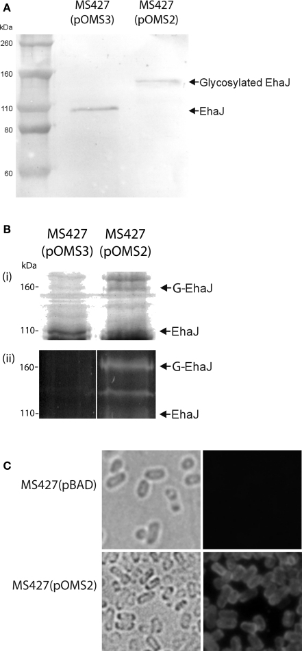 (A) Western blotting with EhaJ-specific antiserum demonstrates the difference in size of EhaJ from MS427(pOMS2) and MS427(pOMS3). Molecular mass markers (M) are pre-stained Novex® Sharp Standard (Invitrogen). (B) SDS-PAGE analysis demonstrating (i) Coomassie blue staining and (ii) Glycoprofile III fluorescent staining of proteins prepared from whole cell lysates of MS427(pOMS2) and MS427(pOMS3). Staining of the 155-kDa EhaJ protein with Glycoprofile III was only observed in the presence of EgtA. A lower molecular weight band that also stained with Glycoprofile III and may represent a partially glycosylated form of EhaJ was also observed in MS427(pOMS2). Although this band is not visible on the western blot shown in (A), it was visible in other western blots that were allowed to develop for a longer time period. (C) Immunofluorescence microscopy demonstrating surface localization of EhaJ. Phase-contrast (left) and fluorescence (right) images of MS427(pBAD; top) and MS427(pOMS2; bottom). Strains were grown in the presence of 0.2% arabinose for all three panels. G-EhaJ indicates glycosylated EhaJ.