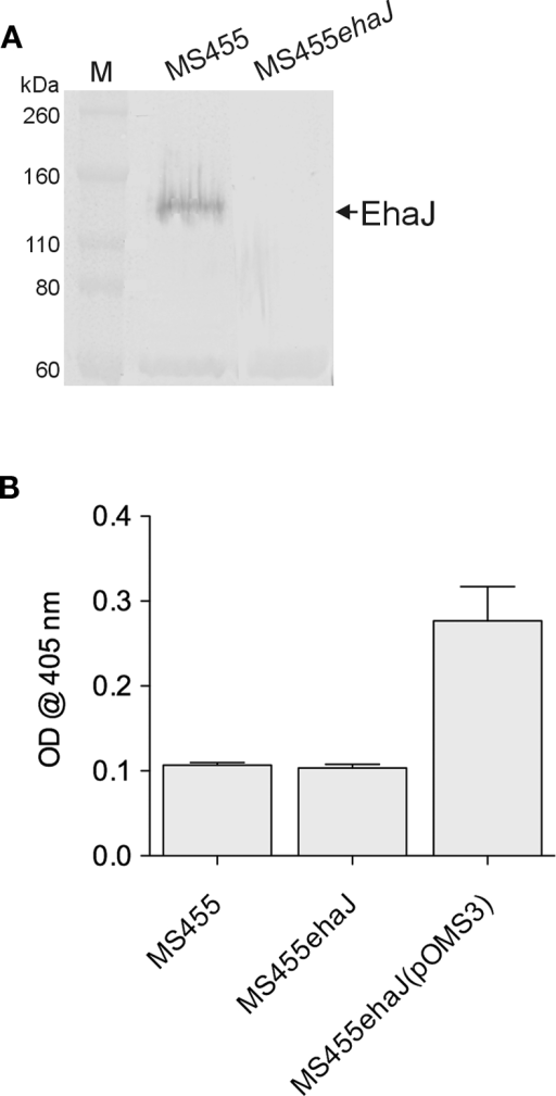 (A) Western blotting with rabbit antiserum specific for the passenger domain of demonstrates expression of EhaJ in wild-type EPEC strain MS455 and loss of EhaJ in MS455ehaJ. Molecular mass (kDa) for the protein markers (M) [Novex Sharp Standards, Invitrogen] is shown on the right. (B) Wild-type strain MS455 did not bind strongly to the MaxGel protein mixture in an ECM binding assay and inactivation of EhaJ in strain MS455ehaJ did not reduce binding to ECM proteins in this assay (P = 0.55). However, over-expression of ehaJ (but not egtA) in MS455ehaJ(pOMS3) lead to a small but reproducible increase in binding to the MaxGel protein mixture (P = 0.008). An unpaired t-test was used for statistical comparisons using GraphPad Prism 5.
