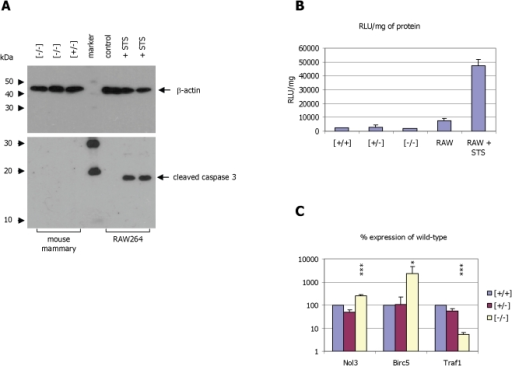 Analysis of markers of apoptosis in mammary tissue from α-casein deficient mice.Panel A: Western blot analysis of samples derived from two α-casein deficient mice and one heterozygous mouse (all taken at mid-lactation). The protein extracts were separated on a 10% (upper panel) and 15% (lower panel) polyacrylamide-gel blotted to nitrocellulose and detected using antisera against β-actin (upper panel) and the cleavage product of caspase 3 (lower panel). Extracts from RAW264 cells treated with 10 µM staurosporin (STS) for 6 h were used as positive control. The sizes of the protein molecular weight markers (Cell Signaling Technologies, biotinylated protein marker) are indicated as are the positions of the β-actin and caspase 3 proteins (arrows) Panel B: Analysis of caspase 3 and caspase 7 activity in cytoplasmic extracts of mammary gland tissue of control [+/+], heterozygous [+/−] and α-casein deficient mice [−/−] using a Caspase-Glo assay (Promega). Extracts derived from RAW264 cells treated with staurosporin were used as positive control. Panel C: Correlation of gene expression in wild type [+/+], heterozygous [+/−] and α-casein deficient mice [−/−] using quantitative PCR. Expression of the genes encoding the apoptosis related proteins nucleolar protein 3 (Nol3; up-regulated), Birc5 (up-regulated) and Traf1 (down-regulated) were correlated with the expression of the reference gene β-actin. Quantification was done in 3 [+/+], 6 [+/−] and 5 [−/−] mice. Statistical analysis using one-way ANOVA demonstrates that the expression changes for all three genes observed in α-casein deficient mice with respect to both wild-type and heterozygous mice occur with p<0.05. For comparisons against wild-type mice in a one-way ANOVA p<0.05 is indicated by *, and p<0.001 by ***.