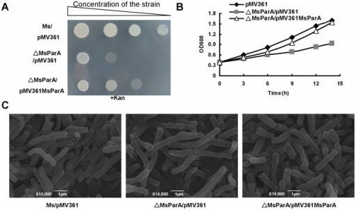 "MsParA affects the growth and morphology of M. smegmatis.The wild-type and mutant strains were grown on the surface of solid agar medium and in the liquid 7H9 medium. (A) Strains were grown on 7H10 agar plates supplemented with 30 µg/ml Kanamycin (Kan) at 37°C for 48 hours. (B) Monitoring of growth on 7H9 medium of the M. smegmatis wild-type (Ms/pMV361), MsParA deletion strain (Msm-MsParA::hyg/pMV361) and MsParA complementation strain (Msm-MsParA::hyg/pMV361MsParA) by OD600 analysis as described under ""Materials and Methods"". (C) Scanning electron microscopy assay of cell morphology. The experiment was carried out as described in the ""Materials and Methods"". Representative images are shown. The images were taken at 15,000× magnification. Bars, 1 µm."