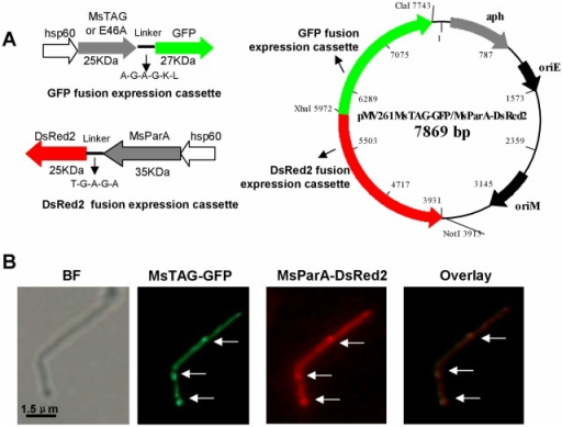 Co-localization assays for MsTAG with MsParA. (A) Schematic representation of construction of co-expression plasmids. MsTAG and MsParA were co-expressed under their respective hsp60 promoters in M. smegmatis (left panel). The GFP fusion expression cassette for expressing GFP-fused MsTAG (left upper panel) and the DsRed2 fusion expression cassette for expressing DsRed2-fused MsParA (left lower panel) were constructed as described in 'Materials and Methods'. The recombinant plasmid pMV261-MsTAG-GFP/MsParA-DsRed2 contained two gene expression cassettes (right panel). (B) MsTAG co-localizes with MsParA. The M. smegmatis double overexpression strain was grown in 7H9 medium to the stage of logarithmic growth. The localization of MsTAG-GFP and MsParA-DsRed2 within single cells (indicated by arrows) was done by fluorescence microscopy. Images of MsTAG-GFP and MsParA-DsRed2 were further subjected to overlay assay. Yellow fluorescence was observed at points where GFP and DsRed2 signals overlapped, indicating co-localization of the two proteins (right panel).