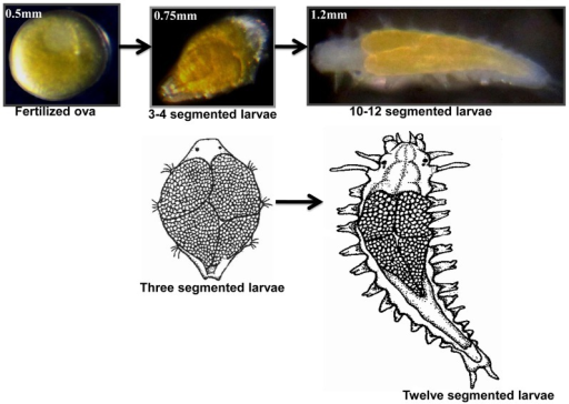 Early developmental stages of the polychaete Neanthes arenaceodentata.Three developmental stages were chosen for proteomic analysis: Fertilized ova, 3–4 segmented early larva and 10–12 segmented old larva. Drawings: Three segmented larva and twelve segmented larva.