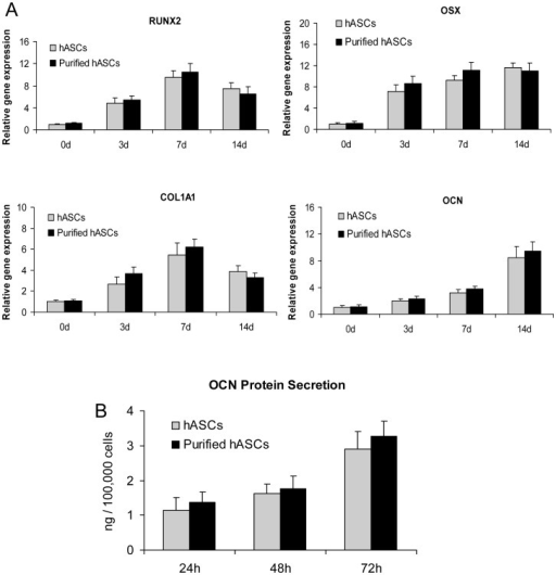 Osteogenesis-associated gene expression and protein secretion by human adipose-derived stromal cells (hASCs) and purified hASCs.A) There were no significant differences in the mRNA levels of Runt related transcription factor 2 (RUNX2), Osterix (OSX), Type I Collagen (COL1A1) or Osteocalcin (OCN) between hASCs and purified hASCs at 3, 7 or 14 days after osteogenic induction (P>0.05). B) There was no significant difference in OCN secretion between hASCs and purified hASCs at 24, 48 or 72 hours after osteogenic induction (P>0.05).