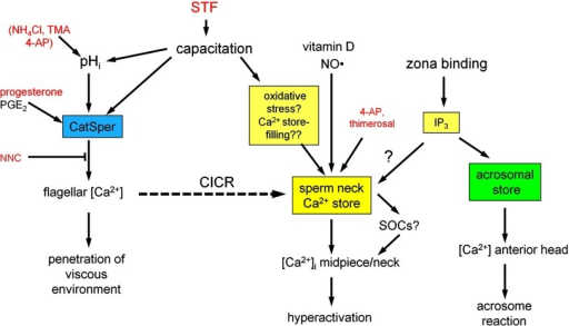 Tentative model for the interacting effects of Ca2+ influx mediated by CatSper (blue box) and release of Ca2+ from the store at the sperm neck (yellow box) based on evidence from this and previous studies. The acrosomal Ca2+ store is also shown (green box). CICR links these two parts of the Ca2+-signaling apparatus in a subset of cells where the Ca2+ store is sensitized (dashed arrow). Agents employed in this study are shown in red. STF is shown acting to enhance capacitation, including sensitization of the Ca2+ store at the sperm neck. Other (endogenous) agents and pathways are shown in black. Question marks indicate effects that are consistent with the model or may be predicted on the basis of studies on other cell types but that have not been established in sperm. Double question marks denote speculation.