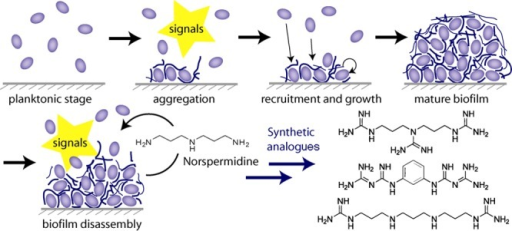 Stagesin the developmental cycle of biofilm formation and disruption.Norspermidine both prevents the formation of new biofilms and collapsesthe structure of existing biofilms.