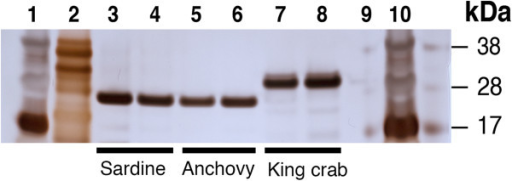 Purified king crab trypsin differs in size from purified sardine trypsin. 250 ng of purified king crab and sardine trypsin were run on a SDS-PAGE gel and stained with silver staining for detection. The result shows that purified king crab trypsin (lane 7 and 8) is a slightly bigger molecule residing in the 28 – 30 kDa area compared to the purified sardine trypsin (lane 3 and 4) at 24 – 25 kDa. Additional purified fish trypsins tested (anchovy (lane 5 and 6), yellow tail, jacopever, spotted mackerel (not shown)) displayed similar size as purified sardine trypsin. Lane 1, 2 and 10 contain protein standards, respectively 10 μl SeeBlue®,10 μl Mark 12™, 16 μl SeeBlue®. Lane 9 is empty.