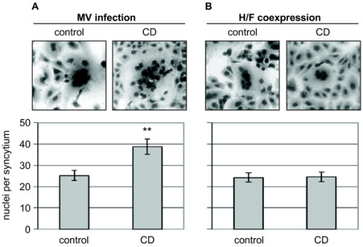 Influence of cytochalasin D treatment on MV glycoprotein-mediated cell-to-cell fusion. (A) MDCK cells were infected with MV at an MOI of 10 in the presence of a fusion-inhibitory peptide (FIP). CD was added at 12 h p.i., and cells were washed, detached and mixed with non-infected and non-inhibitor-treated Vero cells at 48 h p.i.. 5 h later, syncytium formation was visualized by Giemsa staining. (B) Cells were cotransfected in the presence of FIP with plasmids encoding the MV glycoproteins H and F. CD was added at 6 h post transfection, and cells were washed and detached at 24 h post transfection. 5 h after mixing with non-treated Vero cells, syncytia formation was visualized by Giemsa staining. In the upper panels, a syncytium is exemplarily shown. Fusion was quantified as described in the methods and is shown in the lower panels. Error bars indicate standard error of the mean (SEM). ** P < 0.01.