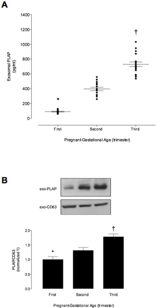 Placenta-derived exosomes profile during pregnancy.Enriched exosome vesicles were quantified in in peripheral plasma of women in the first, second and third trimester of pregnancy using an ELISA kit. (A) exosomal PLAP concentration across the normal pregnancy. (B) Same volume of enriched exosome pellet loaded and analyzed by Western Blot for PLAP and CD63 in exosomes (fractions 5 to 8 were pooled) from maternal plasma in the first, second and third trimester of pregnancy. Lowe panel: PLAP/CD63 ratio densitometries from data in top normalized to 1 (first trimester). Data are presented as aligned dot plot and values are mean ± SEM. In A and B, *p<0.01 versus ST and TT trimester; †p<0.05 versus ST trimester.