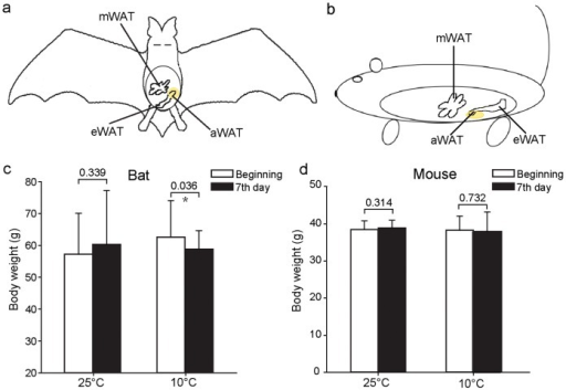 Schematic diagram of intra-abdominal adipose tissue (aWAT), and changes in body weight of bats and mice after exposure to cold temperatures.(a–b) Schematic diagram of aWAT in the bat (a) and mouse (b). Tissues depicted in yellow are aWAT studied here. mWAT: mesenteric WAT; eWAT: epididymal WAT. (c–d) Changes in the body weighs of bats (c) and mice (d), where one group was kept at room temperature (25°C) and the other at 10°C. Each group was composed of 6 individuals. Data are expressed as means ± SD. Statistical significance is marked above the bars: *, p<0.05.