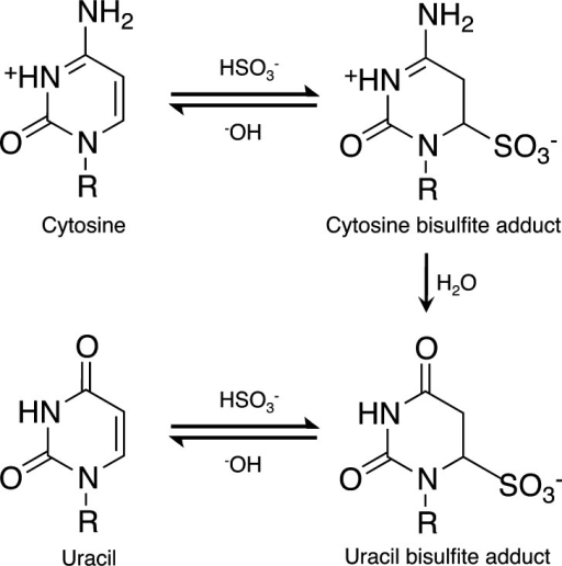 Mechanism of sodium bisulfite deamination of cytosineto uracilthrough the addition of sodium bisulfite across the C5–6 doublebond of C, followed by deamination of the cytosine bisulfite adduct.The uracil bisulfite adduct can then be worked up using alkaline conditions.