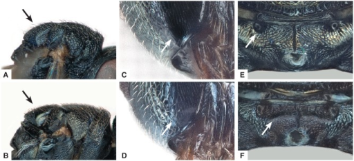 Diagnostic characters of Anisopteromalus, females. (A, B) Mesosoma with scutellum shape in lateral view, A. ceylonensis (A; holotype female, original position mirrored and photo slightly modified with Photoshop), A. caryedophagus (B); (C, D) gena near mouth corner in postero-lateral view, A. quinarius sp.n. (C), A. caryedophagus (D); (E, F) median area of propodeum, A. quinarius sp.n. (E), A. caryedophagus (F). Arrows mark important character states.
