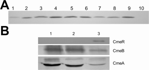 Expression of CmeR in various isolates and its correlation with CmeABC expression.(A) Immunoblotting of whole cell proteins from NCTC 11168 (lane 1), clinical isolates (lanes 2–9), and 11168ΔcmeR (lane 10) with the anti-CmeR antibody. The clinical isolates in lanes 2 to 9 are M63885, CT9:7, CB2:6, CB2:8, CB2:11, S13530, T37957A, and X7199, respectively. (B) Immunoblotting of whole cell proteins from 11168ΔcmeR (lane 1), CT2:2 (lane 2), and NCTC 11168 (lanes 3) with anti-CmeR, anti-CmeB, and anti-CmeA antibodies.