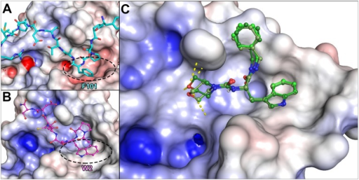 Comparison of the docked designed peptidomimetic with the EcDsbA-EcDsbB and PmDsbA-PWATCDS crystal structures.Calculated electrostatic surfaces of the enzymes are shown, with acidic regions in red, basic regions in blue and non-polar (hydrophobic) regions in white. Electrostatics cut-offs used are +/- 7.5 keV. A. Detail of the EcDsbA complex with EcDsbB from the crystal structure (PDB code 2ZUP [37]) centred on the 97YPSPFATCDFMVR109 sequence of EcDsbB (in light blue) showing Phe101 (F101) binding in the EcDsbA hydrophobic groove (circled). B. Detail of the PmDsbAC30S:PWATCDS crystal structure (PDB code 4OD7) with PWATCDS in magenta. Residue Trp2 (W2) of the peptide binds in the PmDsbA hydrophobic groove (circled). C. Virtual screening identified compound 1 as a potential hit. Three optimal conformations of 1 are shown (in differing shades of green), in their predicted binding mode to the PmDsbAC30S hydrophobic groove. Potential hydrogen bonds between the morpholine moiety and DsbA Pro150, His32 and Asn162 are shown as yellow dashed lines.