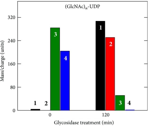 Glycosidase treatment converts larger (GlcNAc)n-UDP oligomers to GlcNAc-UDP. SeHAS membranes were incubated for 30 min with UDP-GlcNAc alone, Folch extracted, fractionated over a size exclusion column, and samples were either untreated (0 min) or treated (120 min) with jack bean hexosaminidase. The samples were then analyzed by MALDI-TOF MS to identify and quantify m/z signals of candidate oligomeric chitin-UDP fragments corresponding to n = 1–4 (boldface white or black numbers). The presence of chitin linkages was confirmed by the ability of glycosidase treatment to shift species with 3 or 4 sugars to products with 1 (GlcNAc-UDP) or 2 sugars. Additional MS/MS analysis of the starting sample ions (not shown) revealed smaller members of the expected oligomer series, including GlcNAc-UDP.