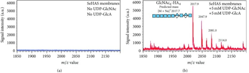 "Mass spectral evidence for chitin-HA in HA made by SeHAS. Empty vector (a) or SeHAS (b) membranes were preincubated for 30 min with UDP-GlcNAc, UDP-GlcUA was added, and incubation proceeded for several minutes. The membranes were heated to release HA and subjected to two cycles of Folch extraction. Extracted HA products were speed vacuum concentrated, digested with ovine testicular hyaluronidase, and the resulting oligomers were subjected to affinity selection over carbograph. Eluted material was surveyed by MALDI-TOF MS to identify ""hybrid"" fragments corresponding to a chitin oligomer cap linked to HA disaccharides, such as the GlcNAc6-(GlcUA-GlcNAc)2 species shown."