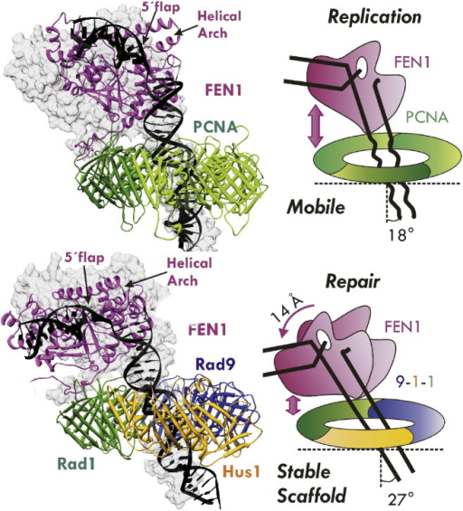 Active orientation of DNA editing enzymes revealed in models of FEN1 with sliding clamps and DNA. Computational models of FEN1 with PCNA and 9-1-1 were developed based on one of the stabilized positions of FEN1 in a DNA-free PCNA crystal structure. Modeling revealed that the sliding clamps tilted the DNA toward FEN1. The PCNA and 9Δ-1-1 complexes are shown as cartoons. PCNA is shown in green, FEN1 in purple, Rad1 in green, Hus1 in yellow, Rad 9 in blue, and DNA in black. The gray surfaces are the FEN1/DNA from the original starting models. The surfaces for the two clamps in the starting models were omitted for clarity. (For interpretation of the references to color in this figure legend, the reader is referred to the web version of this article.)
