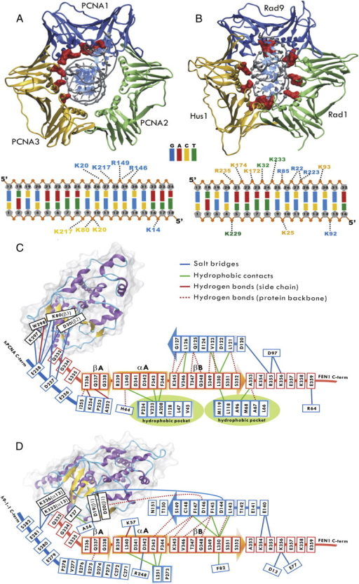 Two distinct binding modes of the PCNA/FEN1/DNA and 9∆-1-1/FEN1/DNA complex. A–B) Cartoon representations of PCNA and 9-1-1 binding to dsDNA, colored in blue for Rad9 and PCNA1, yellow for Hus1 and PCNA3 and green for Rad1 and PCNA2. The dsDNA phosphodiester groups and basic residues on the inner surface of PCNA and 9-1-1 are shown in gray spheres and red surfaces, respectively. Schematic representations of C) PCNA/FEN1 and D) 9∆-1-1(Rad1)/FEN1 interfaces and contacts. Secondary structure elements are shown for the FEN1 C-terminal tail in orange and sliding clamp (PCNA/Rad1) in blue. Ribbon representations of the core of FEN1 with secondary structure elements are labeled. Hydrophobic pockets on the PCNA surface are indicated in green. (For interpretation of the references to color in this figure legend, the reader is referred to the web version of this article.)
