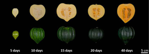 'Sweet REBA' acorn squash fruit at five developmental time points. Self-pollinated fruit were harvested at 5, 10, 15, 20 and 40 days after pollinations. Photos are of the interior and exterior of representative fruit at each time point.