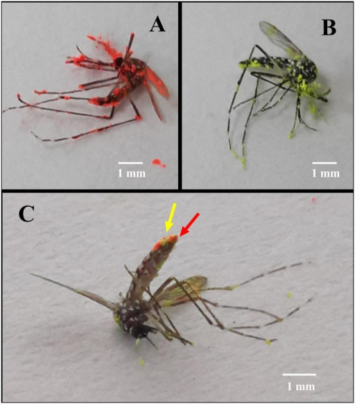 Aedes aegypti mosquito adults marked with fluorescent powders.A: M. anisopliae-exposed male marked with red fluorescent powder. B: Uninfected male marked with yellow powder. C: A female mosquito that was mated by both fungus-exposed male and uninfected one, showing spots of powder of both colors on the last abdominal segments (red and yellow arrows).