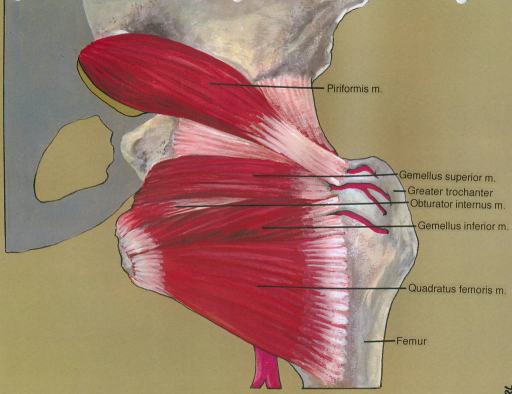 piriformis muscle; gemellus superior muscle; greater trochanter; obturator internus muscle; gemellus inferior muscle; quadratus femoris muscle; femur