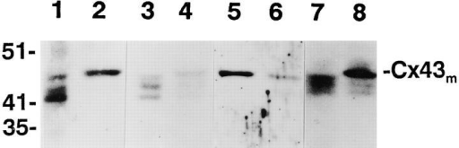 Western blot analyses revealed that Cx43 in mitotic cells  from HUVEC strains HX1 and H101 and rat vascular smooth  muscle cells had slower mobility, with a relative molecular mass  of 47–48. Lanes 1 and 2, control nonmitotic and colcemid-arrested  mitotic HX1 cells, respectively; lanes 3 and 4, control nonmitotic  and nocodazole-arrested mitotic HX1 cells, respectively; lanes 5  and 6, mitotic HX1 and H101 HUVEC cells, respectively; lanes 7  and 8, nonmitotic and mitotic rat vascular smooth muscle cells,  respectively.