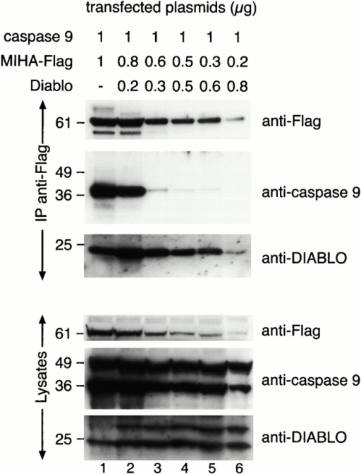 DIABLO inhibits the binding of processed caspase 9 to MIHA. 293T cells were transfected as indicated. 48 h after transfection, the lysates were harvested and MIHA was immunoprecipitated. Both the lysates and the immunoprecipitates (IP, indicated on the left) were immunoblotted with anti-caspase 9, anti-DIABLO, and anti-Flag antibody. MIHA coimmunoprecipitated processed, but not full-length, caspase 9 (lane 1). This association persisted when the MIHA/DIABLO ratio was 4:1 (lane 2) but was significantly inhibited by DIABLO at lower ratios (lanes 3–6). Endogenous and transfected DIABLO were able to associate with MIHA. The full-length (50-kD) and processed forms (37-kD) of caspase 9 were present in the lysates. Transfected DIABLO was expressed in both an unprocessed (25-kD) and processed (23-kD) form. The processed form coimmunoprecipitated with MIHA.