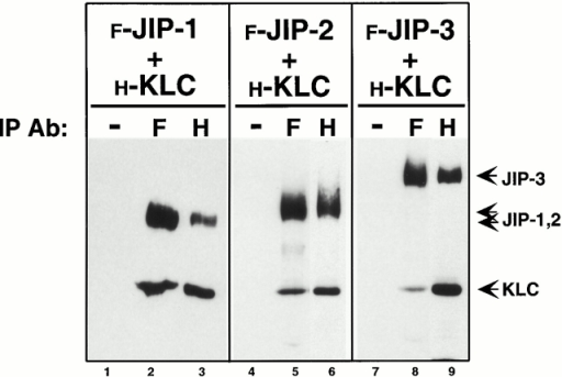 Coimmunoprecipitation of KLC and the JIP proteins. Lysates of COS cells expressing Flag-tagged JIP-1, JIP-2, or JIP-3 together with HA-tagged KLC were immunoprecipitated (IP) with no primary antibody (−), with an anti-Flag mAb (F), or with an anti-HA mAb (H). Precipitates were immunoblotted to detect the expressed proteins using polyclonal antibodies to both epitope tags.
