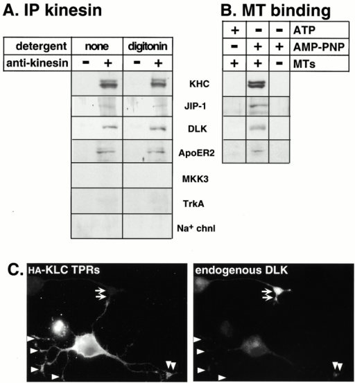 Kinesin and JIP-1 are associated with the upstream kinase DLK and the transmembrane receptor ApoER2. (A) An mAb to KHC (H2) was used to immunoprecipitate (IP) kinesin and associated proteins from a rat brain high speed supernatant in the presence of digitonin or no detergent. The presence of associated polypeptides was detected by immunoblotting the precipitates with polyclonal antibodies to the indicated proteins. (B) Rat brain high speed supernatant was subjected to an MT binding assay in the presence of Triton X-100 by adding ATP, AMP-PNP, and/or MTs as indicated. MTs and bound proteins were sedimented through a sucrose cushion, and the presence of the indicated proteins in the MT pellets was detected by immunoblotting. (C) CAD cells were transiently transfected with a plasmid encoding the HA-tagged KLC TPRs. After differentiation, the expressed protein was detected by indirect immunofluorescence microscopy using a mAb to the HA tag (left). Endogenous DLK kinase was detected with a polyclonal antibody (right). Arrowheads denote tips of transfected cells; arrows denote the tip of an untransfected cell.