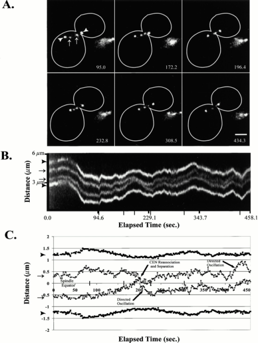 Centromere proximal spots exhibited dynamic separation and oscillations along the preanaphase mitotic spindle. The lacO marker was integrated ∼1.1 kb from CEN11 with Spc72–GFP-labeled spindle pole bodies. (A) Selected frames of an ∼7.5-min single-plane time-lapse. (B) A kymograph sequence of the entire time-lapse collected at ∼0.9-s intervals. Narrow tick marks indicate corresponding time points to the above selected frames. (C) Graphical plot of the above time course. In both A and B, arrowheads denote the spindle pole bodies, and arrows define the centromere proximal chromosome spots. Elapsed time provided in seconds. Bar, 2 μm.