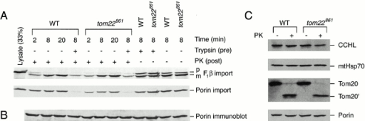 Import of F1β and porin into N. crassa mitochondria with damaged outer membranes. (A) Mitochondria were isolated from mutant strain 861 (tom22861) and the control strain 76-26 (WT) using standard procedures. Import of radiolabeled precursor proteins was conducted at 20°C for the indicated times. After the import reactions, mitochondria were reisolated and subjected to SDS-PAGE. The gels were blotted to nitrocellulose and subjected to autoradiography. The leftmost lane for each precursor contained 33% of the input lysate used in each import reaction. The precursor (p) and mature (m) forms of F1β are indicated. (B) After phosphorimaging of the imported proteins, the blot was decorated with antiserum to porin. (C) Effect of proteinase K on proteins from different submitochondrial compartments. Isolated mitochondria were either digested with proteinase K as described in Materials and Methods or were incubated at 0°C for 15 min without proteinase K. After reisolation, electrophoresis, and blotting, the membranes were decorated with antiserum to the indicated proteins. Tom20′, proteolytic fragment of Tom20. PK, proteinase K.