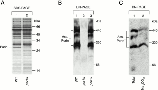 Porin forms high molecular weight complexes in yeast. (A) Purified S. cerevisiae mitochondria of a por1Δ-strain and the corresponding wild-type (WT) (50 μg protein per lane) were lysed in SDS sample buffer and subjected to SDS-PAGE. The gel was stained with Coomassie brilliant blue G-250. (B) Mitochondria of por1Δ, por2Δ, and the wild-type (50 μg protein per lane) were lysed in digitonin buffer and subjected to BN-PAGE. After semidry blotting onto PVDF membranes, immunodecoration with antibodies directed against porin was performed and the signals were detected by chemiluminescence. (Ass. Porin) Complexes of assembled porin. (C) Wild-type mitochondria (50 μg protein) were treated with sodium carbonate, and the membrane pellet was subjected to BN-PAGE and immunodecoration with antibodies against porin (lane 2). Nontreated mitochondria are shown as control (lane 1).