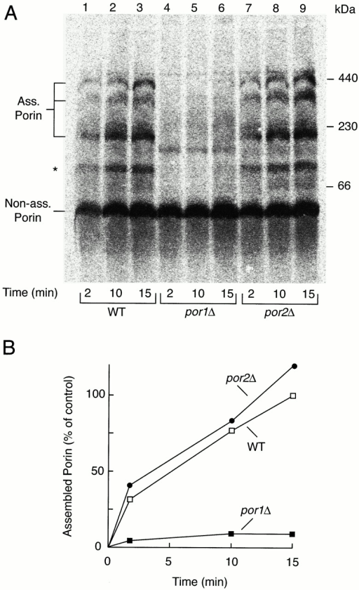 Assembly of in vitro–imported porin into preexisting complexes. (A) Radiolabeled precursor of yeast porin (10 μl reticulocyte lysate per lane) was incubated with por1Δ, por2Δ, and wild-type mitochondria (50 μg protein) at 25°C for the indicated periods. The mitochondria were reisolated, lysed in digitonin-containing buffer, and subjected to BN-PAGE and digital autoradiography. (Ass. Porin) Complexes of assembled porin. Asterisk indicates a putative assembly intermediate of porin. Non-assembled (monomeric) porin is shown in the low molecular weight range. (B) Quantification of the amounts of assembled porin by digital autoradiography. The amount of assembled radiolabeled porin in wild-type mitochondria after 15 min was set to 100% (control).