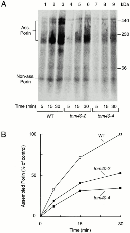 Import of porin is inhibited into tom40 mutant mitochondria. (A) Radiolabeled porin precursor (10 μl reticulocyte lysate per lane) was incubated with isolated yeast mitochondria as indicated (50 μg protein per lane) at 25°C. The mitochondria were reisolated, lysed in digitonin-containing buffer, and subjected to BN-PAGE and digital autoradiography. (B) Quantification of assembled porin by digital autoradiography. The total amount of assembled radiolabeled porin after 30 min in wild-type mitochondria was set to 100% (control). When the mitochondria were preincubated at 37°C, the assembly of porin in the tom40 mutant mitochondria was similarly reduced compared with wild-type mitochondria.