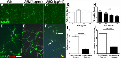 Aβ oligomers induce loss of MAP2 positive processes in primary neurons coincident with BrdU incorporation. Cultured primary cortical neurons (21 DIV) were treated with vehicle (Veh, A and D), 4 μg/ml Aβ monomers (AβM, B and E) or 4 μg/ml Aβ oligomers (AβO, C and F) for 24 hours. Following fixation, cells were immunostained with antibodies against MAP2, revealing several long MAP2 positives processes per cell in the vehicle treatment group, a modest reduction in the number of MAP2 positive processes in the AβM treatment group and a dramatic reduction in the number and length of the MAP2 processes in the AβO treatment group. Scale bar, 10 μm. MAP2 positive neurons with shorter processes displaying BrdU incorporation (arrows in F). G-H. Quantification of MAP2 positive dendrites following exposure to Veh or different concentrations of AβM (G) and AβO (H) via automated image processing revealed a statistically significant decrease in MAP2 positive processes (p = 0.006; Veh versus AβO-4 μg/ml; unpaired t test; mean ± SEM; n = 3 independent experiments) when compared to either vehicle or AβM. I-J. Quantification of the total number (I) of MAP2 positive processes as well as the number of processes longer than 5 μm per cell (J) in both BrdU positive and BrdU negative neurons revealed a statistically significant reduction in both number of MAP2 + processes (p = 0.015; mean ± SEM; unpaired t test; n = 3) as well as the number of processes longer than 5 μm (p = 0.05; mean ± SEM; unpaired t test; n = 3) in BrdU positive cells when compared to BrdU negative cells.