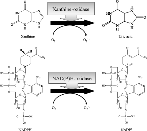 Xanthine oxidase and NADPH oxidase: representative enzymes that contribute to the production of O2•− in biological systems.