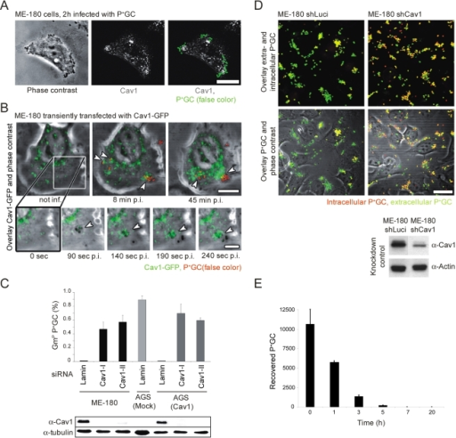 Expression and recruitment of Cav1 prevents internalization of P+GC by host cells.(A) Recruitment of endogenous Cav1 (white, middle panel) to attached P+GC (green, right panel) in ME-180 cells 2 h post-infection. (B) Excerpts of Movie 1: Cav1-GFP (green) is recruited within seconds to microcolonies and individually attached P+GC (red) in ME-180 cells (lower panels). Recruitment continues as infection proceeds (upper panels). Attached P+GC are indicated by arrows. (C) Knockdown of Cav1 in ME-180 cells and in Cav1 expressing AGS cells (AGS-Cav1) results in P+GC internalization. Cav1 expression was downregulated by transfection of two different siRNAs (Cav1-I or Cav1-II) in ME-180 and AGS-Cav1 cells using lamin A/C as a control siRNA. Gentamicin protection assays were performed 2 h post-infection (upper panel). Experiments were performed in triplicate. Data are mean ± standard deviation. Cav1 knockdown efficiency was confirmed by Western blot analysis (lower panel). (D) shRNA-mediated downregulation of Cav1 in ME-180 cells results in P+GC internalization. Intracellular bacteria (red) are detected in ME-180 shCav1 cells (upper right panels), whereas only extracellular bacteria (yellow-green) are detected in ME-180 shLuciferase control cells (upper left panels). Efficiency of Cav1 knockdown in ME-180 cells after lentiviral transduction of Luciferase (control) or Cav1 shRNA constructs (lower panel). Scale bar: 20 µm. (E) Numbers of viable intracellular P+GC in AGS cells decrease rapidly over time. Infected cells were initially treated with gentamicin for 2 h, then further incubated in gentamicin and serum-free medium and lysed at indicated time points. Experiments were performed in triplicate. Data are mean ± standard deviation.