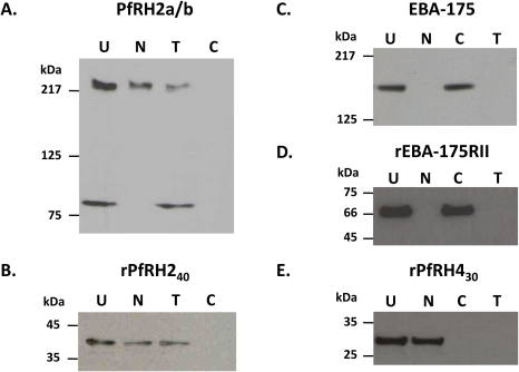 Erythrocyte binding activity of native PfRH2a/b and recombinant rPfRH240 proteins.(A) Binding of the native PfRH2a/b protein in 3D7 culture supernatants incubated with untreated (U) erythrocytes, different enzyme-treated erythrocytes (Nm: neuraminidase-treated; T: trypsin-treated; C: chymotrypsin-treated). The processed PfRH2a/b parasite protein fragments (220 kDa and 80 kDa) were detected in the eluate fractions by immunoblotting using the anti-rPfRH240 antibodies. (B) Binding of the recombinant rPfRH240 protein with a similar set of erythrocytes. (C) Binding of native EBA-175 from 3D7 parasite culture supernatant with different enzyme treated erythrocytes. (D) Binding of recombinant EBA-175 region II (rEBA-175 RII) with enzyme treated erythrocytes. (E) Binding of recombinant PfRH4 (rRH430) region (amino acids 328–588) with enzyme treated erythrocytes.