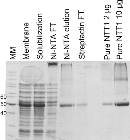 Purification of NTT1.SDS-PAGE analysis of the NTT1 purification procedure. MM, Molecular weight markers. FT, flow-through.