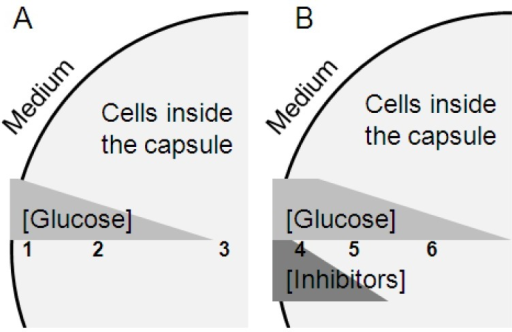Schematic figure of the hypothesized glucose and inhibitor concentration profiles in a cross section of the capsules in non-inhibitory medium (A) and medium with convertible inhibitors (B) and the corresponding differences in cell physiology. The numbers indicate different cell populations: 1. non starved cells; 2. slightly starvation-stressed cells with triggered ESR; 3. starved cells; 4. non-growing cells converting inhibitors; 5. ESR triggered cells, growing and converting inhibitors; 6. slightly starvation-stressed cells.