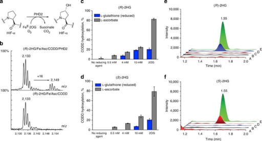 PHD2/2HG catalysis is enabled by reducing agents.Samples containing 4 μM PHD2 (prolyl hydroxylase domain 2), 200 μM C-terminal oxygen dependent degradation domain (CODD) peptide, 5 mM (R)- or (S)-2HG, 50 μM Fe(II), 0/0.5/4/10 mM L-ascorbate in Hepes 50 mM pH 7.5 were incubated for 20 h (37 °C) and then analysed by MALDI-TOF-MS or subjected to amino acid analysis. Error bars represent s.d. of the mean of triplicate assays. 2OG (2-oxoglutarate) control incubations contained 300 μM 2OG instead of 2HG. (a) The PHD2-catalysed reaction. (b) Typical MALDI-TOF-MS spectra of CODD-OH (upper) and CODD (lower). (c) Dependence of PHD2/(R)-2HG-catalysed CODD hydroxylation on L-ascorbate and GSH (glutathione). (d) Dependence of PHD2/(S)-2HG-catalysed CODD hydroxylation reaction on L-ascorbate and GSH. (e,f) Amino acid analysis results (A: 2HG, Fe(II), L-ascorbate; B: CODD, 2HG, Fe(II), L-ascorbate; C: PHD2, 2HG, Fe(II), L-ascorbate; D: PHD2, CODD, 2HG, Fe(II), L-ascorbate; E: standard containing trans-4-hydroxyproline amino acid).